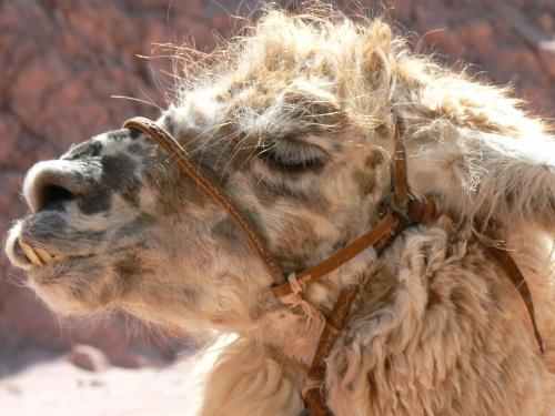 camel salta argentina